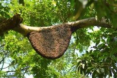 Bienenstock auf der Niederlassung eines Baums nahe Bhatghar-Verdammung, Pune lizenzfreie stockfotografie