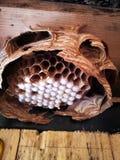 Bienenstock von Hornissen Stockfotografie
