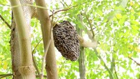 Bienenwabe auf Moringa-Baum- und -unschärfegrün verlässt Hintergrund stock footage