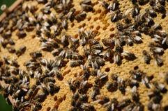 Bienenwabe mit Bienen lizenzfreies stockbild