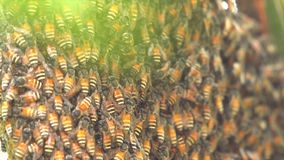 Bienenwabenbiene stock video