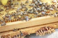 Bienenwabenrahmen gründete durch Bienen, mit Mangel an Raum für Honig Selbst gebaut Bienen eingewachsen Bienenfamilie im Bienenst stockbilder