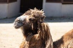 Bienestar animal pobre Camello desalinado lamentable en el parque zoológico de Moscú imagenes de archivo