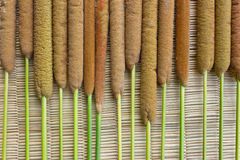 A biennial plant. Typha angustifolia L. Is a biennial plant in Thailand stock image