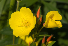 Biennis d'Oenothera Photo stock