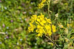 """Biennis för Oenothera för gul nattljusvildblomma†"""" arkivfoto"""
