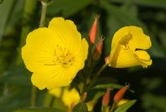 Biennis van Oenothera Stock Foto
