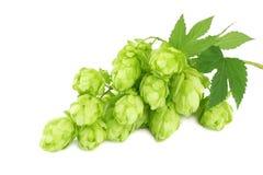 Bierbrauen-Bestandteile Hopfen lokalisiert auf weißem Hintergrund Bierbrauereikonzept Enthält Steigungineinander greifen lizenzfreie stockfotografie