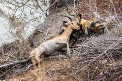 Biesiadowanie Afrykańscy Dzicy psy Fotografia Stock