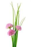 Bieslook (Alliumschoenoprasum) Royalty-vrije Stock Fotografie