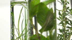 Bieslook, dille, thyme, basilicum, kerrie en munt in reageerbuizen stock footage