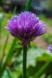 Bieslook in tuin Royalty-vrije Stock Afbeelding