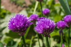 Bieslook in tuin Royalty-vrije Stock Afbeeldingen