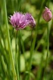 Bieslookbloemen stock foto
