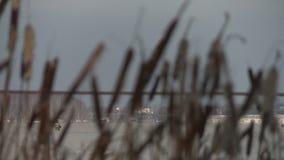 Biesstruikgewas in de wind in de wintermening stock video