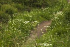 Bieszczady - een bergketen, Polen, Europa; weiden en witte bloemen royalty-vrije stock fotografie