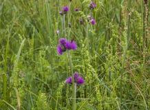 Bieszczadybergen, Polen - weiden en bloemen stock foto's