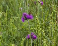 Bieszczadybergen, Polen - weiden en violette bloemen royalty-vrije stock afbeeldingen