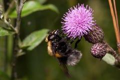 Biet är annalkande nektar från en tistelblomma Djur i djurliv Arkivfoto