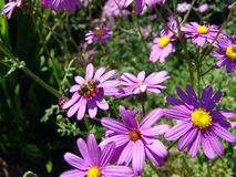 biet blommar purple Arkivfoton
