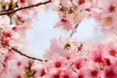 biet blomstrar Cherryet Royaltyfri Bild