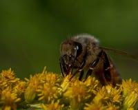 biet detailed honung isolerade makroen staplade mycket white Royaltyfri Fotografi