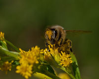 biet detailed honung isolerade makroen staplade mycket white Arkivfoto