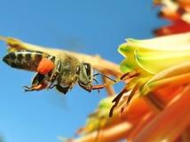 biet detailed honung isolerade makroen staplade mycket white Royaltyfri Bild