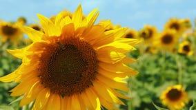 Biet flyger nära solrosen och samlar nektar close upp stock video