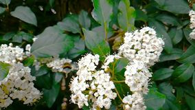 Biet getingen, bålgetingen på blomman, fluga i ultrarapid, närbildsikt, för pollinerar blommorna, vår är kommande, natur arkivfilmer