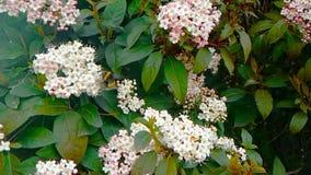 Biet getingen, bålgetingen på blomman, fluga i ultrarapid, närbildsikt, för pollinerar blommorna, vår är kommande, natur lager videofilmer