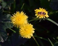 Biet i blomman Arkivfoton