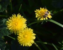 Biet i natur som samlar pollen royaltyfria foton