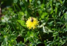 Biet i natur som samlar pollen arkivbild