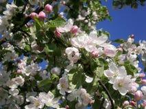 Biet på ett blomstra äppleträd Royaltyfri Foto