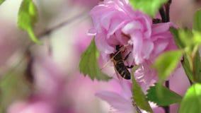 Biet pollinerar aprikosblommor i våren close upp långsam rörelse stock video
