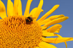 Biet pollinerar solrosen, mot efterkrav honung Royaltyfria Foton