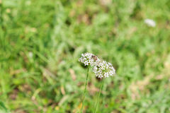 Biet pollinerar vita blommor arkivfoto