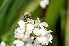 Biet pollinerar vita små blommor i fältet arkivbilder