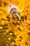 biet räknade pollen Arkivbilder