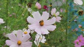 Biet samlar f?rsiktigt nektar fr?n en blomma stock video