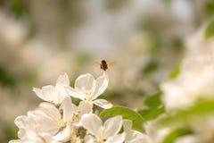 Biet samlar honung i äppleblomning royaltyfri fotografi