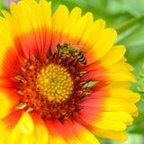 biet samlar nectar Arkivfoto
