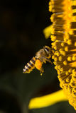 Biet samlar nektar från blommor Royaltyfri Foto