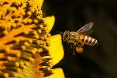 Biet samlar nektar från blommor Fotografering för Bildbyråer