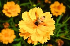 Biet samlar nektar från den gula blomman Arkivbild