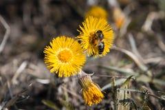 Biet samlar nektar från en blomma av tussilagot på en solig varm vårdag Arkivbilder