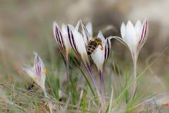 Biet samlar nektar från krokusblommor Vårsolen skiner ljust royaltyfri bild