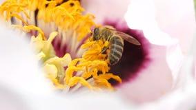 Biet samlar nektar fr?n att blomstra blomman av en pion N?rbild av ett bi i toppen ultrarapid stock video