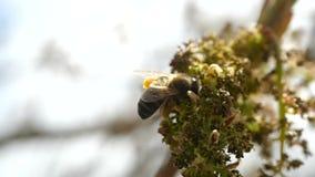 Biet samlar nektar fr?n att blomstra exotiska v?xter av kanarief?gel?ar N?rbild av ett flygabi i toppen ultrarapid lager videofilmer